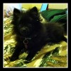 Simon_Sick_pomeranian_puppy