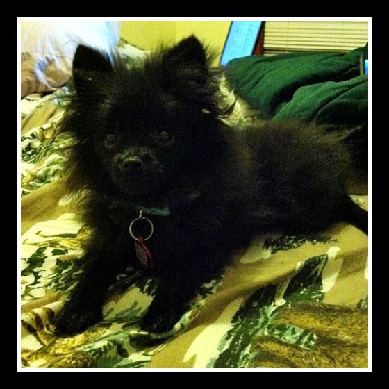 Simon_Sick_pomeranian_puppy
