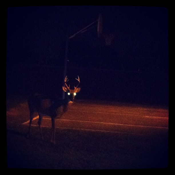 Deer_night_eyes