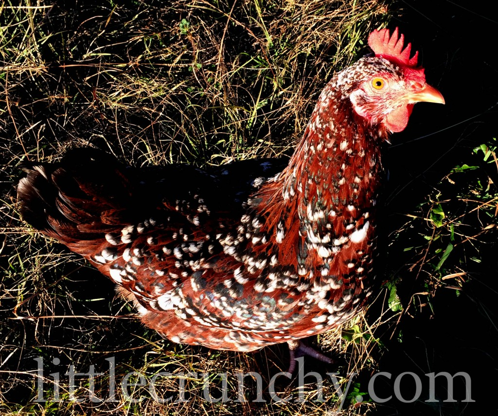 speckled_sussex_hen