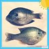 Fishing Fish Bluegill
