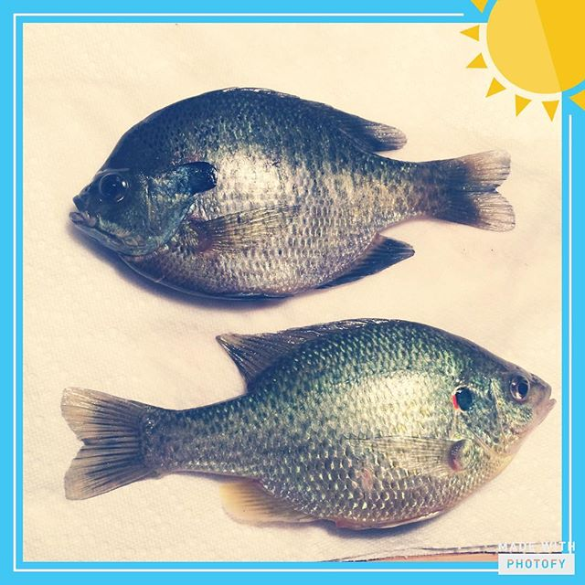 Fishing Fish Bluegill