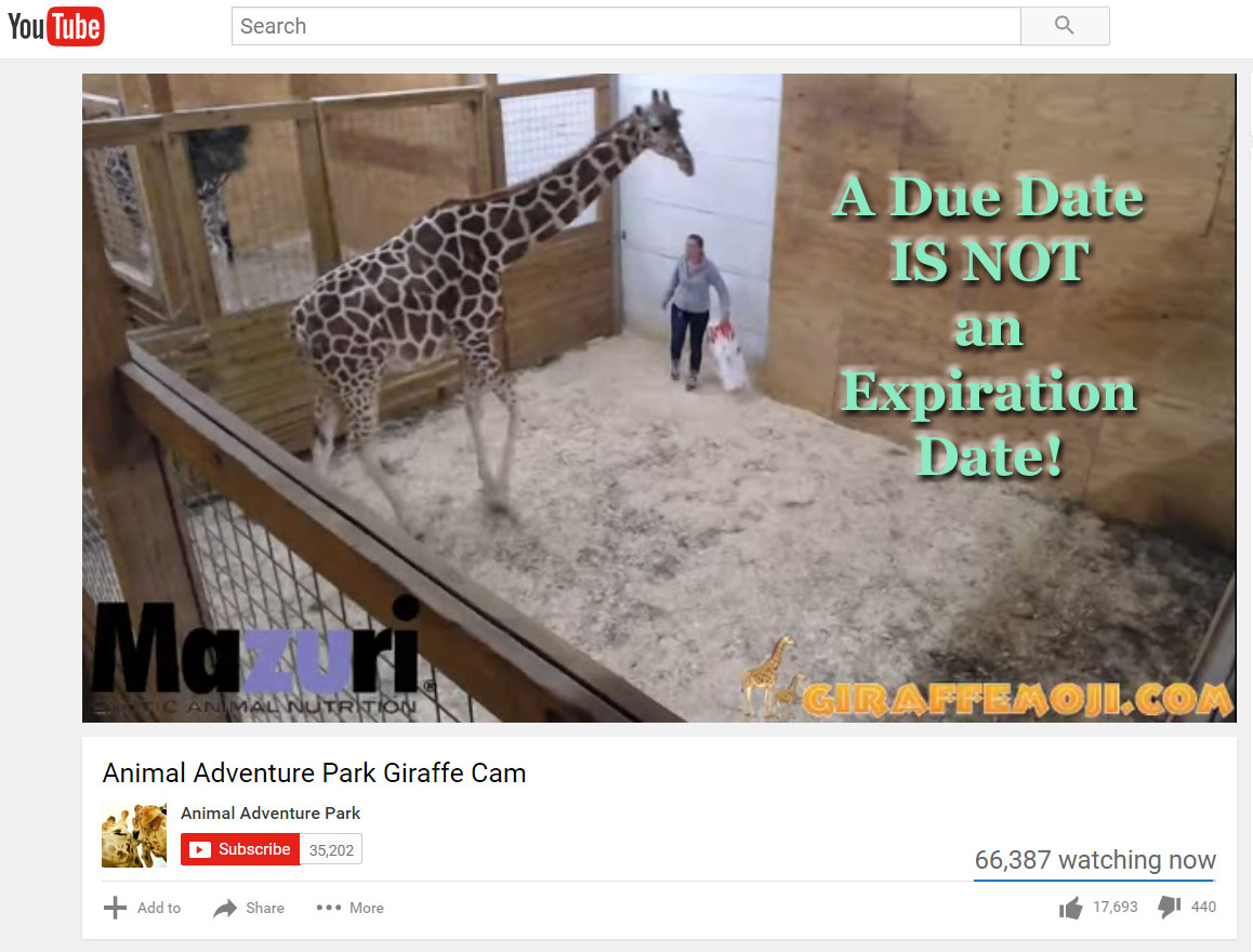 Giraffe_pregnancy_April