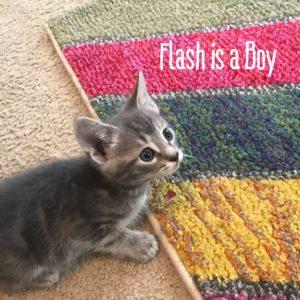 6 Week Old Kitten Grey Stripes