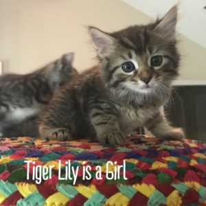6 week old female tabby tiger face