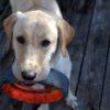Training your lab puppy