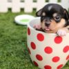 chihuahua-dog-puppy-cute-39317